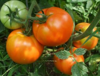 Épluchez rapidement les tomates fraîches